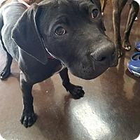 Adopt A Pet :: Duke - Norman, OK