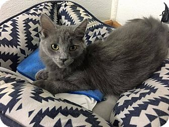 Russian Blue Cat for adoption in Toms River, New Jersey - Alex