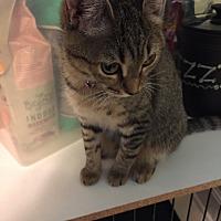 Domestic Shorthair Cat for adoption in Charlotte, North Carolina - Paisley