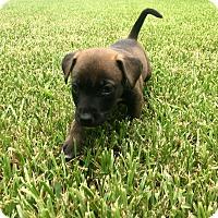 Adopt A Pet :: Dobby - Portland, OR