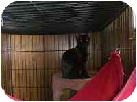 Domestic Shorthair Kitten for adoption in Grand Rapids, Michigan - Double Trouble