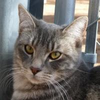 Adopt A Pet :: Shye - Las Cruces, NM