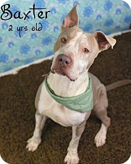Pit Bull Terrier Mix Dog for adoption in Gulfport, Mississippi - Baxter - Lonely Heart
