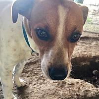 Adopt A Pet :: Gilmore - Quinlan, TX