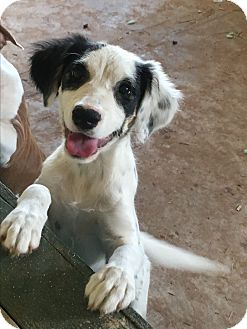 Border Collie/English Setter Mix Puppy for adoption in Weatherford, Texas - *LACEY*
