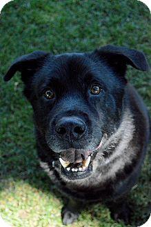 Labrador Retriever/Chow Chow Mix Dog for adoption in Richland, Washington - Onyx
