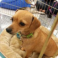 Adopt A Pet :: Rosie - San Dimas, CA