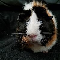 Guinea Pig for adoption in Harleysville, Pennsylvania - Bridgette