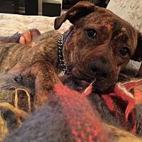 Adopt A Pet :: MINA  Uber Water Dog! She's a Mermaid! - Rowayton, CT