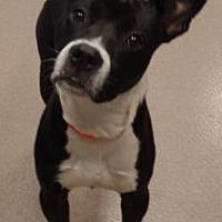 Adopt A Pet :: Joe-Joe - Decatur, GA