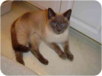 Siamese Cat for adoption in Statesville, North Carolina - Daniel Boone