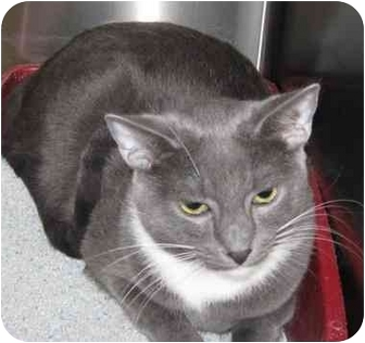 Domestic Shorthair Cat for adoption in Yorba Linda, California - Nicky AKA Buddy