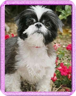 Shih Tzu Dog for adoption in North Palm Beach, Florida - Rugs
