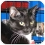 Photo 1 - Domestic Shorthair Cat for adoption in Little Falls, New Jersey - RACHEL (MG)