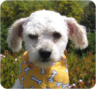 Poodle (Miniature) Puppy for adoption in Encinitas, California - Rigby