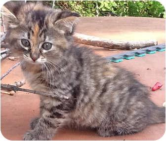 Calico Kitten for adoption in Mt. Prospect, Illinois - Mocha