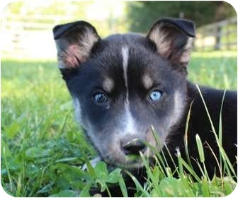 Husky Mix Puppy for adoption in Allentown, Pennsylvania - Rowlf