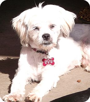Lhasa Apso Mix Dog for adoption in Aloha, Oregon - Crosby