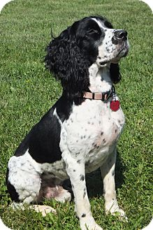 English Springer Spaniel Dog for adoption in Minneapolis, Minnesota - Charlie