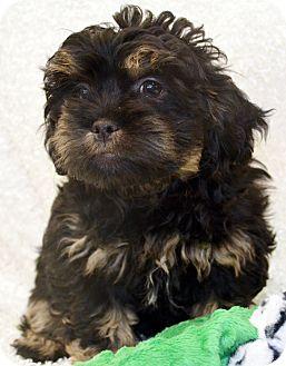 Cocker Spaniel/Chihuahua Mix Puppy for adoption in Bridgeton, Missouri - Curley