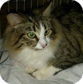Maine Coon Cat for adoption in Modesto, California - Two Toes