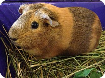 Guinea Pig for adoption in Grand Rapids, Michigan - Hazel and Emily