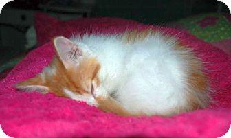 Domestic Mediumhair Kitten for adoption in Marietta, Georgia - Shipley
