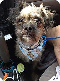 Shih Tzu/Affenpinscher Mix Dog for adoption in Daytona Beach, Florida - Baxter