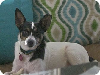 Fox Terrier (Toy)/Terrier (Unknown Type, Small) Mix Dog for adoption in Nashville, Tennessee - Cheyenne