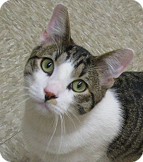 Manx Cat for adoption in Tulsa, Oklahoma - Surprise