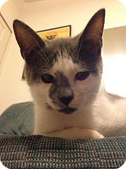 Domestic Shorthair Kitten for adoption in Tillamook, Oregon - Wizard