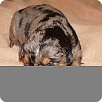 Adopt A Pet :: Mollie aka Stella 5 - Conway, AR