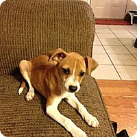 Adopt A Pet :: Peanut- In CT - West Hartford, CT