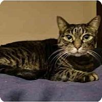 Adopt A Pet :: Tabby - Washington Terrace, UT