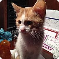 Adopt A Pet :: Bubbles - East Hanover, NJ