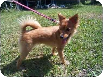 Pomeranian Mix Dog for adoption in Chesapeake, Virginia - Ellie