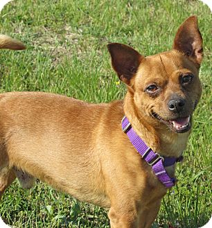 Chihuahua/Dachshund Mix Dog for adoption in Hillsboro, Texas - Duke