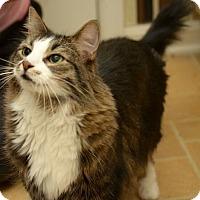 Adopt A Pet :: Coco Chanel - Reston, VA