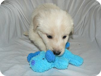 Collie Mix Puppy for adoption in waterbury, Connecticut - Brayden