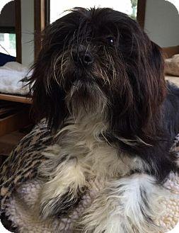 Shih Tzu Mix Dog for adoption in Morgantown, West Virginia - Shaggy