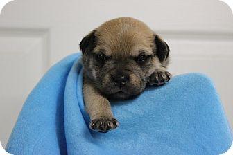 Corgi Mix Puppy for adoption in Boonsboro, Maryland - Cargo