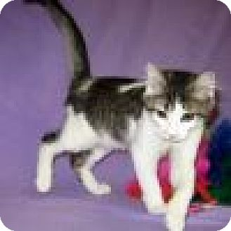 Domestic Shorthair Cat for adoption in Powell, Ohio - Zeppelin