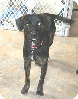 Feist/Labrador Retriever Mix Dog for adoption in Conesus, New York - Kasey