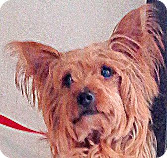 Yorkie, Yorkshire Terrier/Terrier (Unknown Type, Medium) Mix Dog for adoption in Maquoketa, Iowa - Whiskey