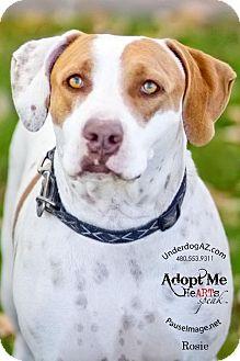 Pointer Mix Dog for adoption in Chandler, Arizona - ROSIE 2