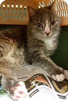Domestic Shorthair Cat for adoption in North Haven, Connecticut - Bermuda