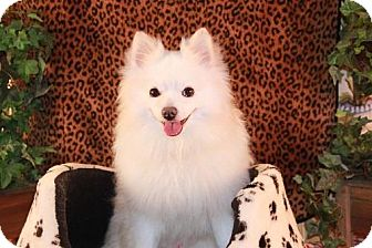 American Eskimo Dog/Pomeranian Mix Dog for adoption in Dallas, Texas - Polar