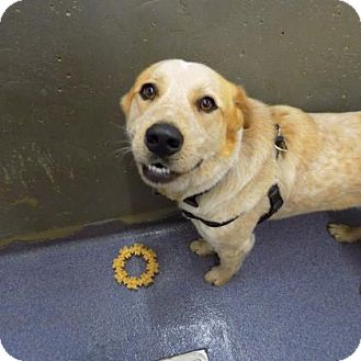 Australian Cattle Dog Mix Dog for adoption in Edwardsville, Illinois - Max