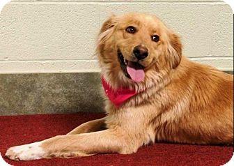 Golden Retriever Mix Dog for adoption in Ada, Oklahoma - HAZEL