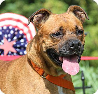 Boxer Mix Dog for adoption in Marietta, Ohio - Sandy (Spayed)